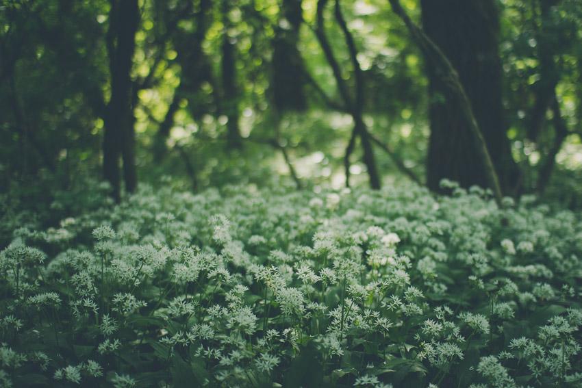 Bärlauch zur Blütezeit
