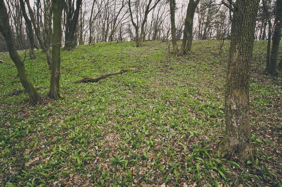 Große Flächen der Bärlauch im Wald